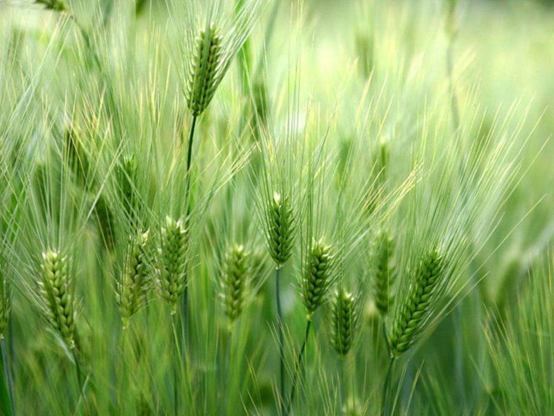 Pulbere din Orz Verde – Deep Green Puterea Naturii